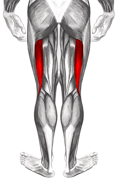 Muscles l 39 articulation du genoux biceps f moral for Exterieur biceps